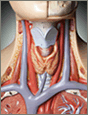 Thyroid Information